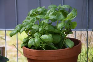 Basil Houseplant Healthy Living in Colorado