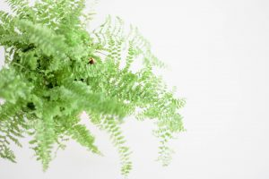 Boston Fern Healthy Living in Colorado Easy Houseplants