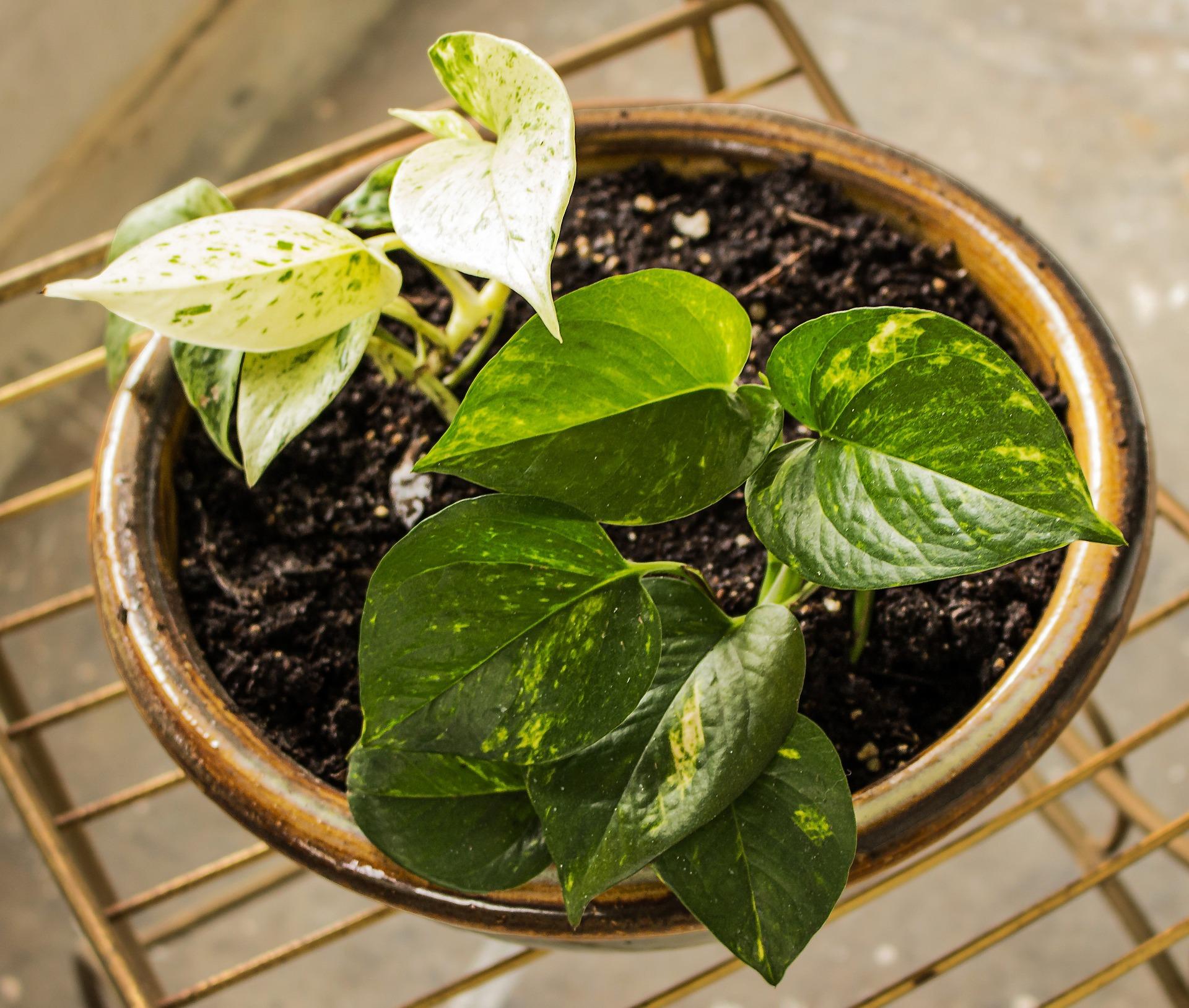 Pothos Healthy Living in Colorado Easy Houseplants